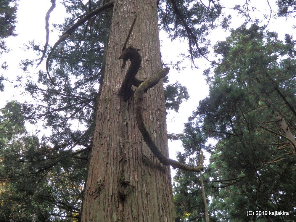 慈光寺参道にある龍の形をした杉