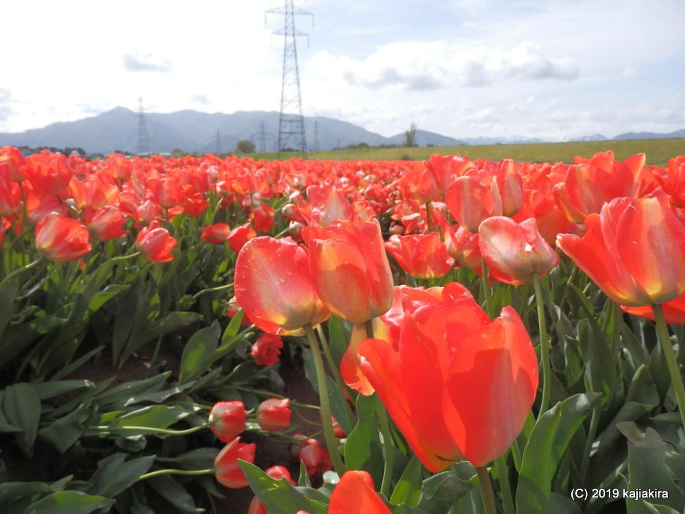五泉のチューリップ(五泉市巣本地区)
