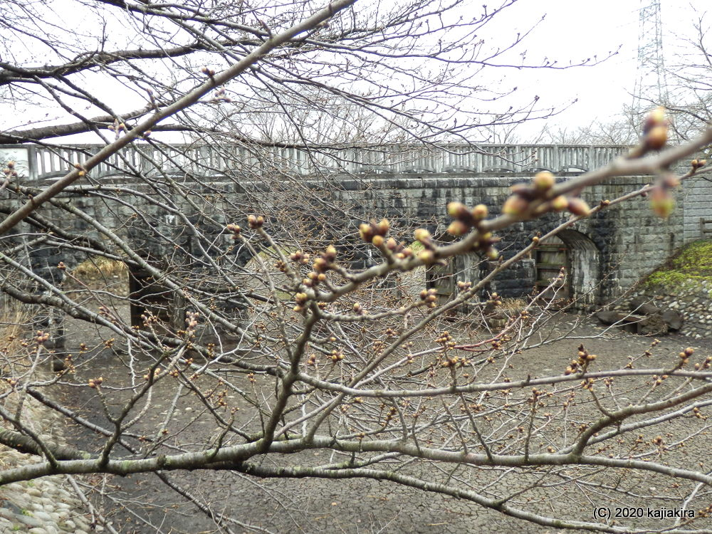 加治川治水記念公園(新発田市)早咲きの桜2020 (3/14)