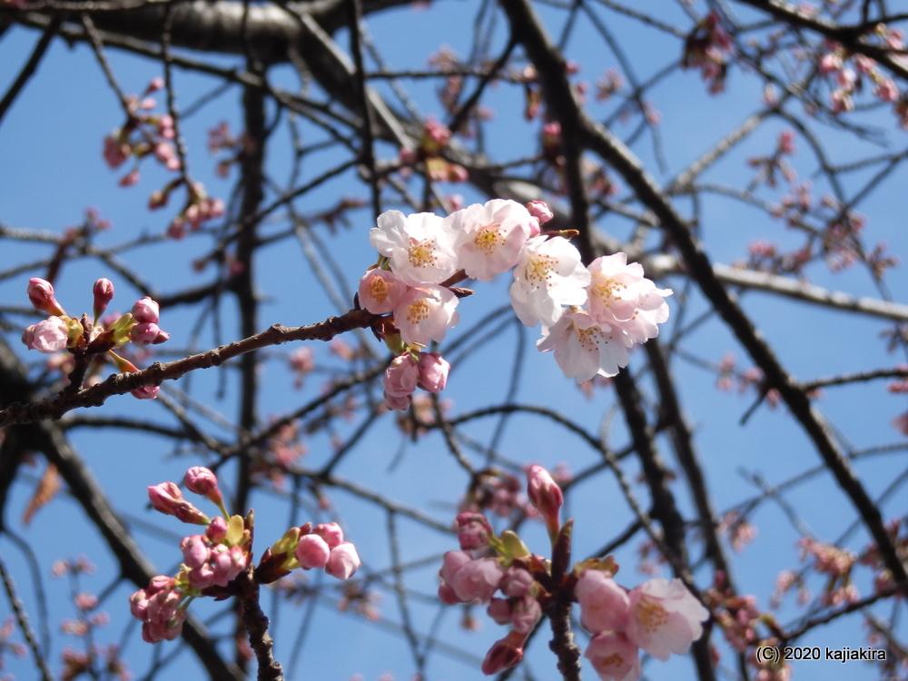 万代長嶺小学校(新潟市中央区)脇の桜2020 (3/16)