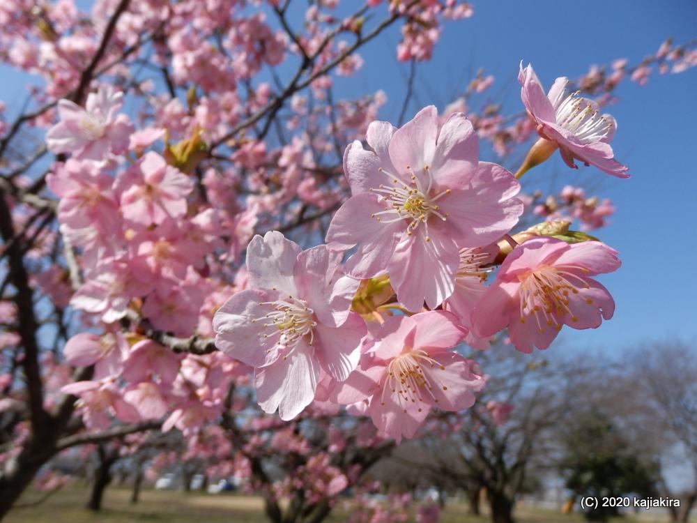 加治川治水記念公園(新発田市)早咲きの桜2020 (3/19)