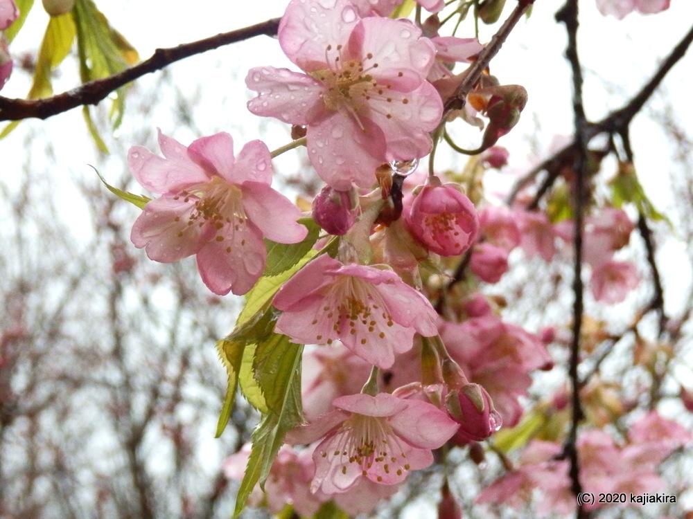 早咲きの桜と水芭蕉。新発田市・大峰山桜公園2020