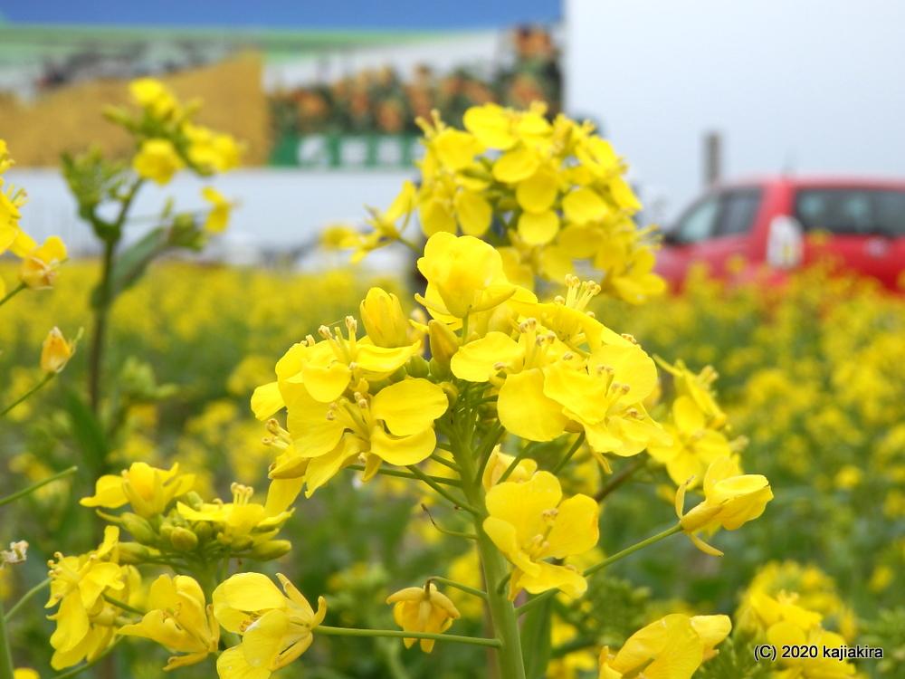 新津フラワーロード(国道403号新津バイパス)の菜の花2020