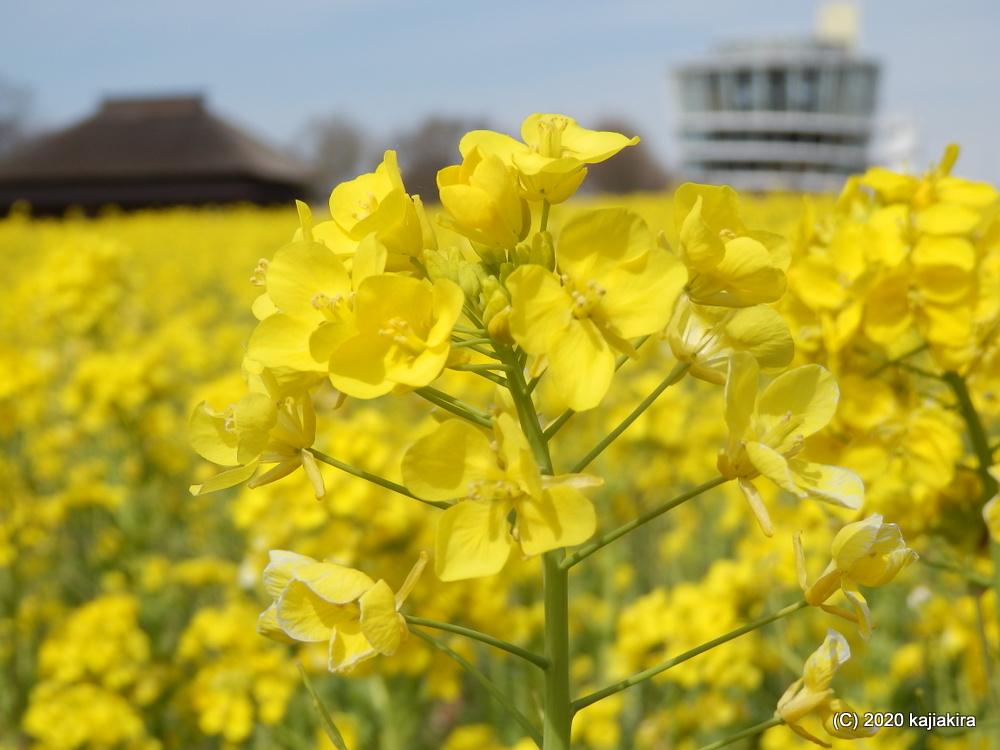 福島潟(新潟市北区)の菜の花畑2020