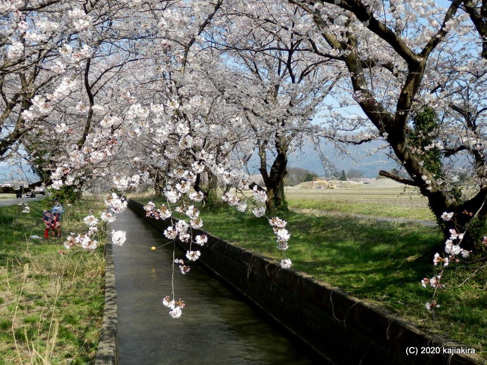 阿賀野市・新江の桜並木2020