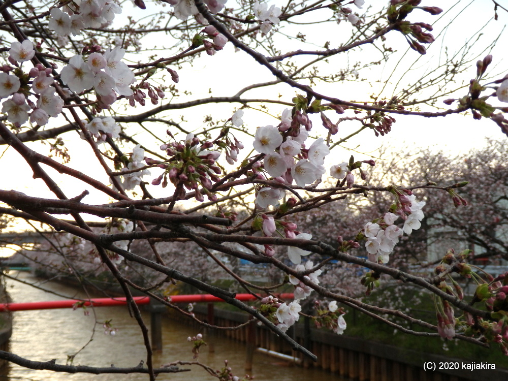 新潟市江南区茗荷谷・すご堀の桜並木2020
