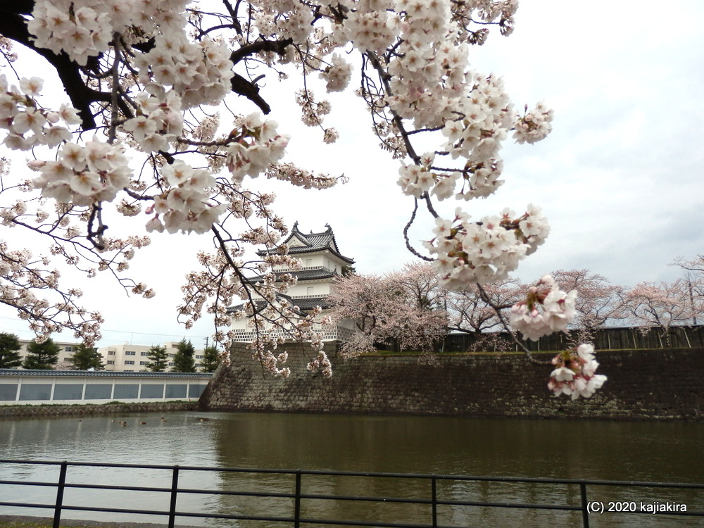 新発田城址公園の桜と新発田城ライトアップ2020