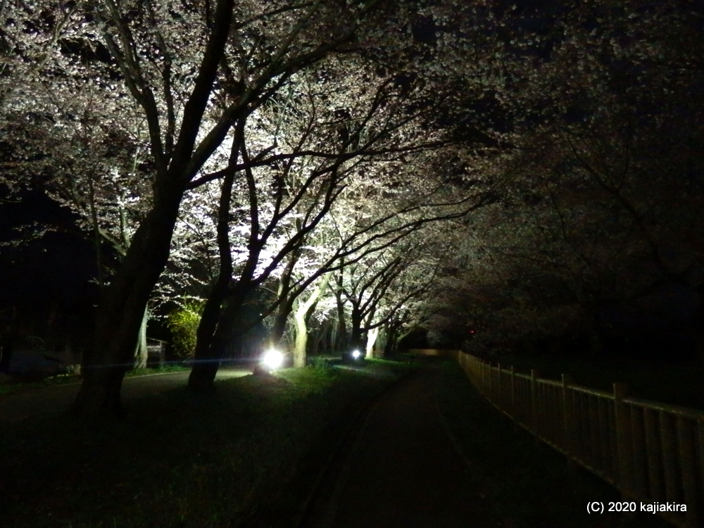 加治川治水記念公園の桜2020(4/6)