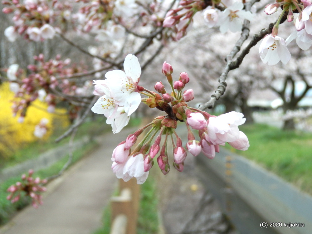 加治川治水記念公園の桜2020(4/7)