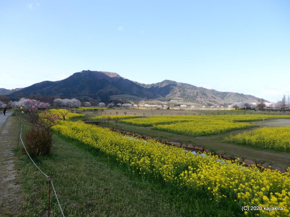 上堰潟公園の桜と布目夫婦桜2020