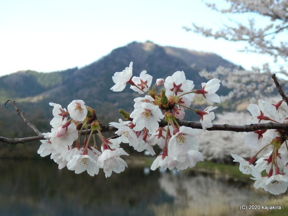 仁箇堤の桜2020
