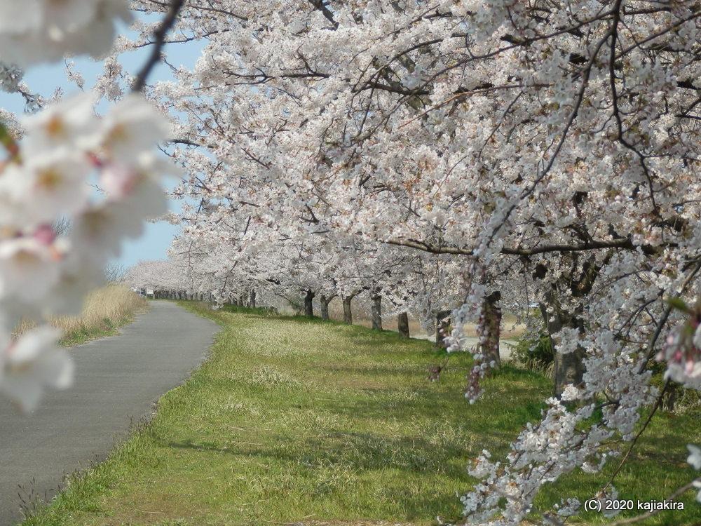 加治川治水記念公園の桜2020(4/15)
