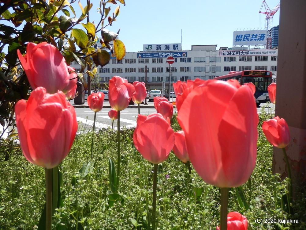 新潟駅前のチューリップ2020