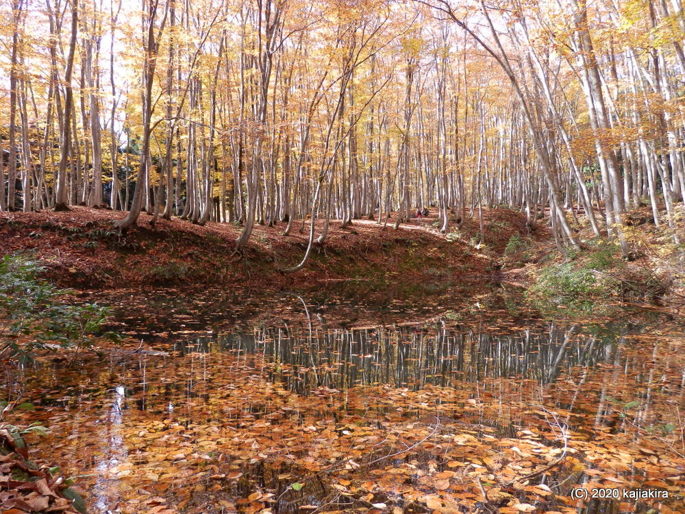 十日町市松之山「美人林」の紅葉