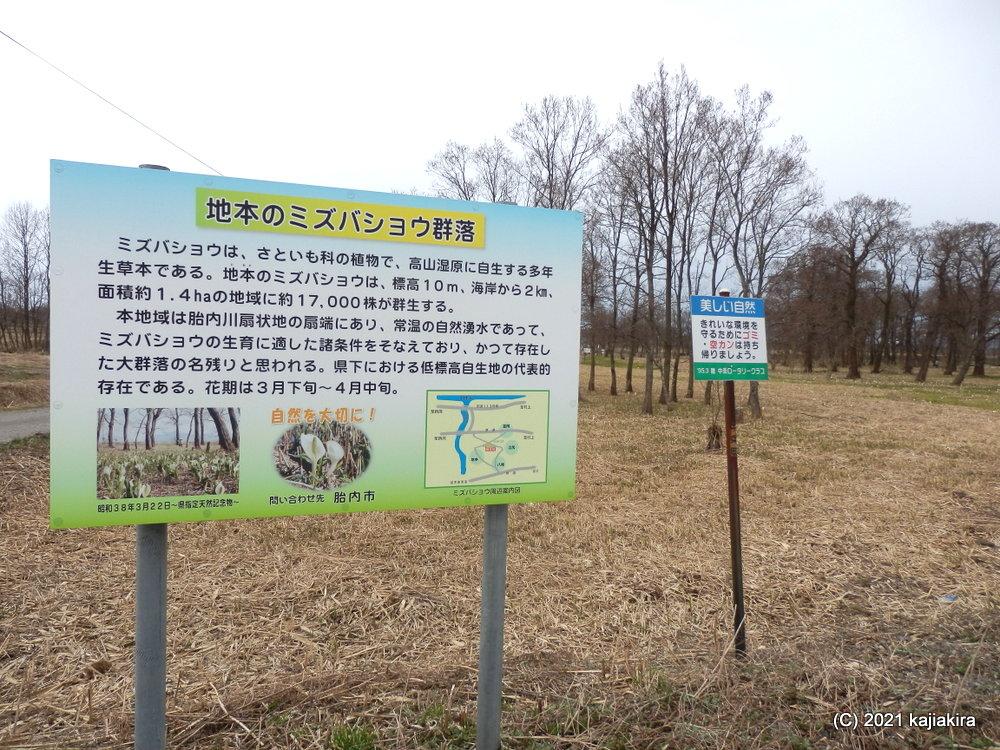 どっこん水湧き出る、胎内市地本に咲く水芭蕉2021