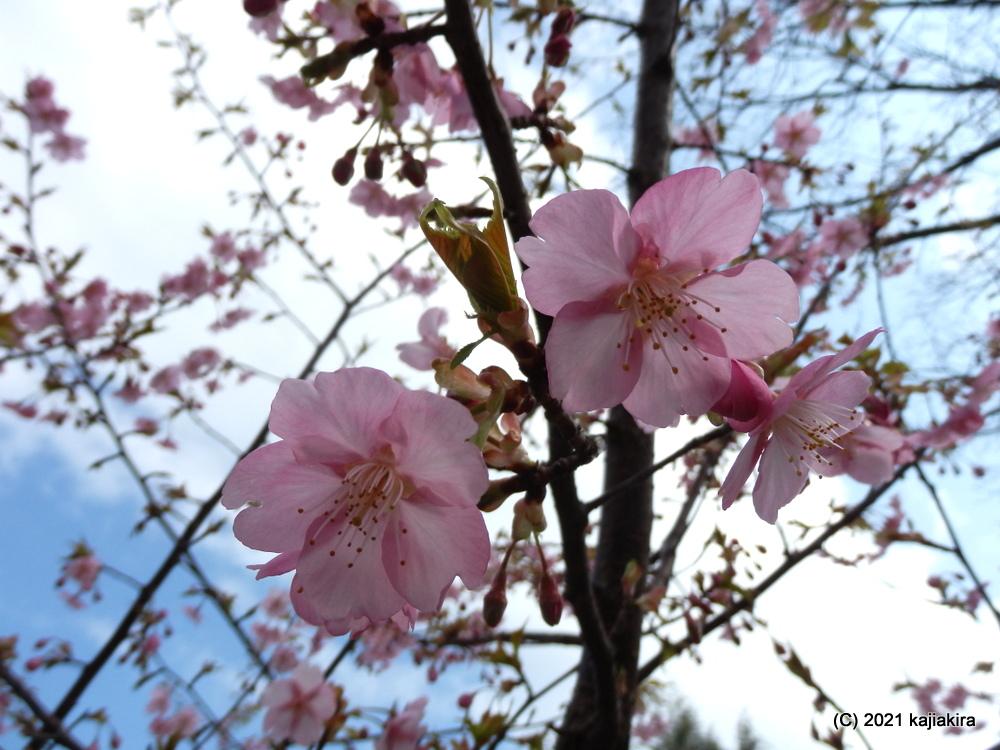 東公園(新潟市中央区)の早咲きの桜2021(3/22)