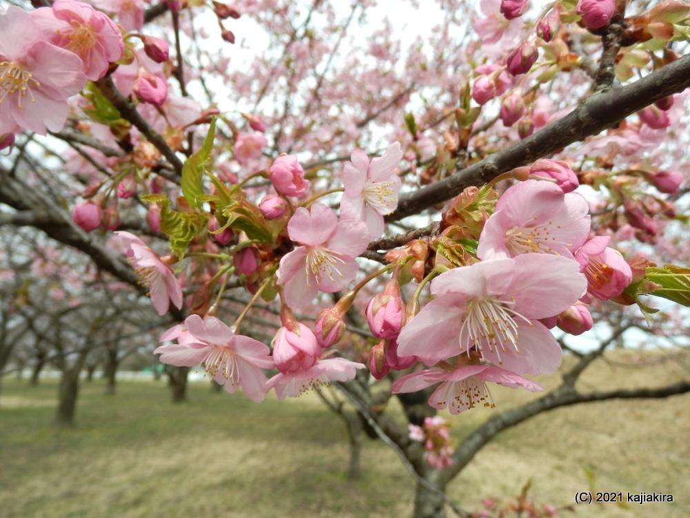 加治川治水記念公園(新発田市)の早咲きの桜2021 (3/27)