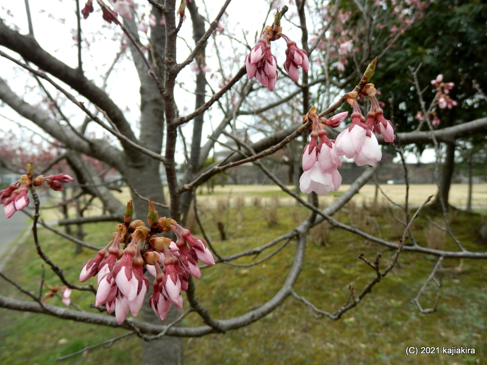 「新発田城址公園」の桜