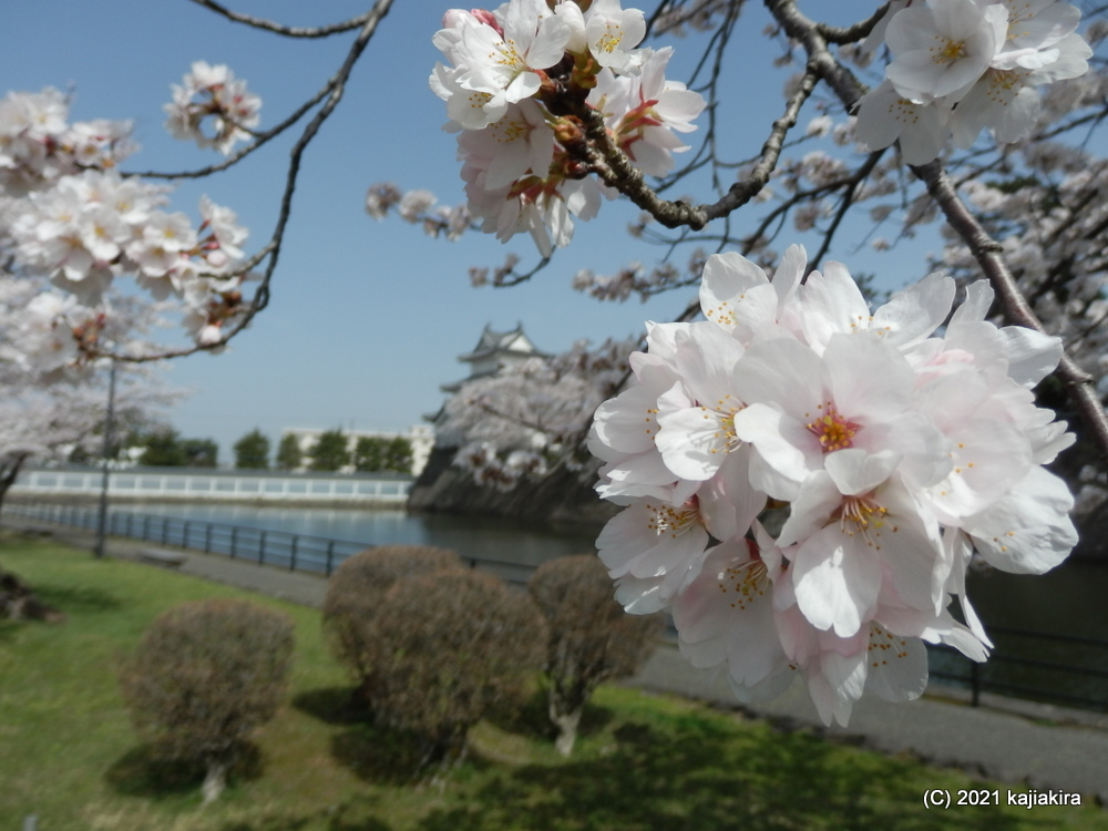 新発田城址公園(新発田市)の桜 2021 (3/31)