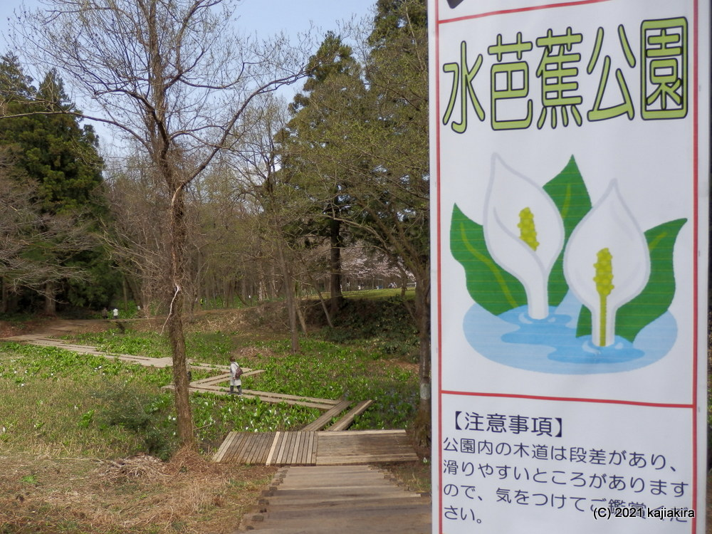 水芭蕉公園(五泉市)の水芭蕉2021(3/31)