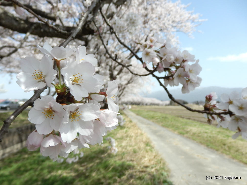新江の桜並木(阿賀野市)の桜 2021 (4/1)