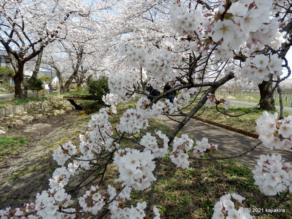 加治川河川敷(新発田市)と加治川治水記念公園の桜 2021 (4/1)