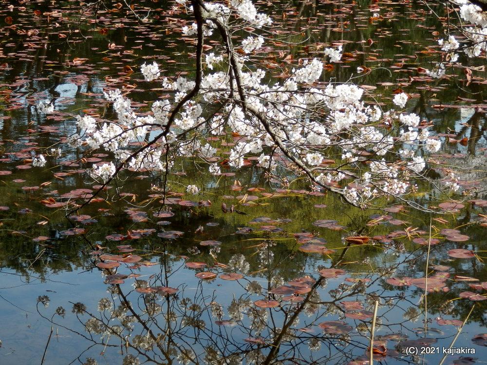 じゅんさい池(新潟市東区)の桜 2021 (4/1) あれ、龍が居た・・・。
