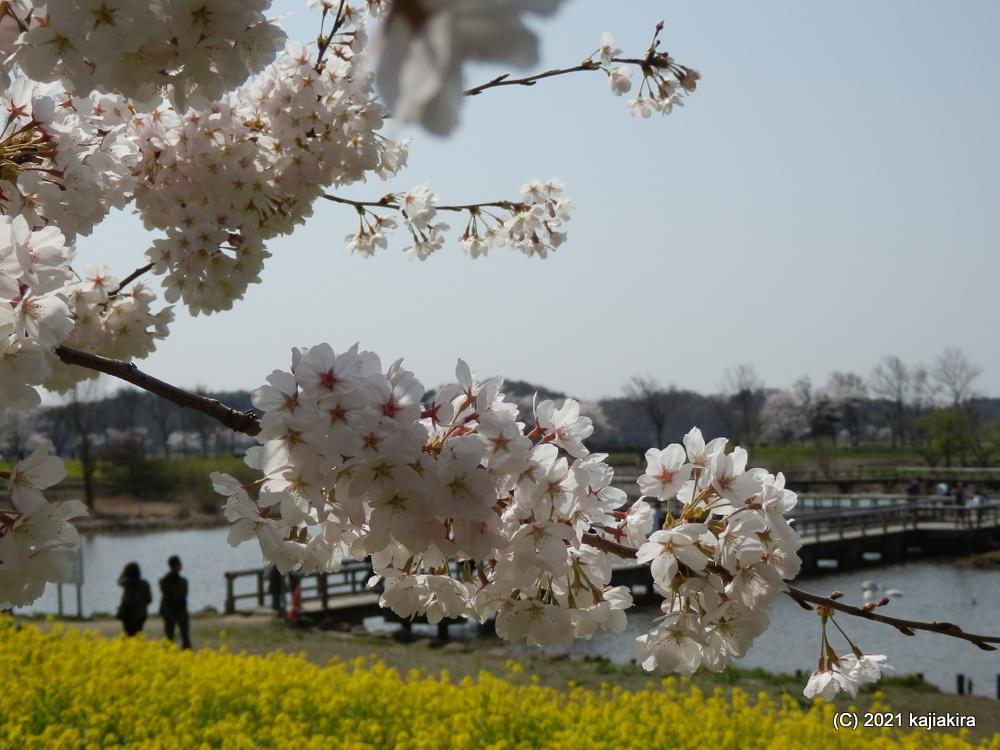上堰潟公園(新潟市西蒲区)の桜、菜の花、そして白鳥 2021(4/3)