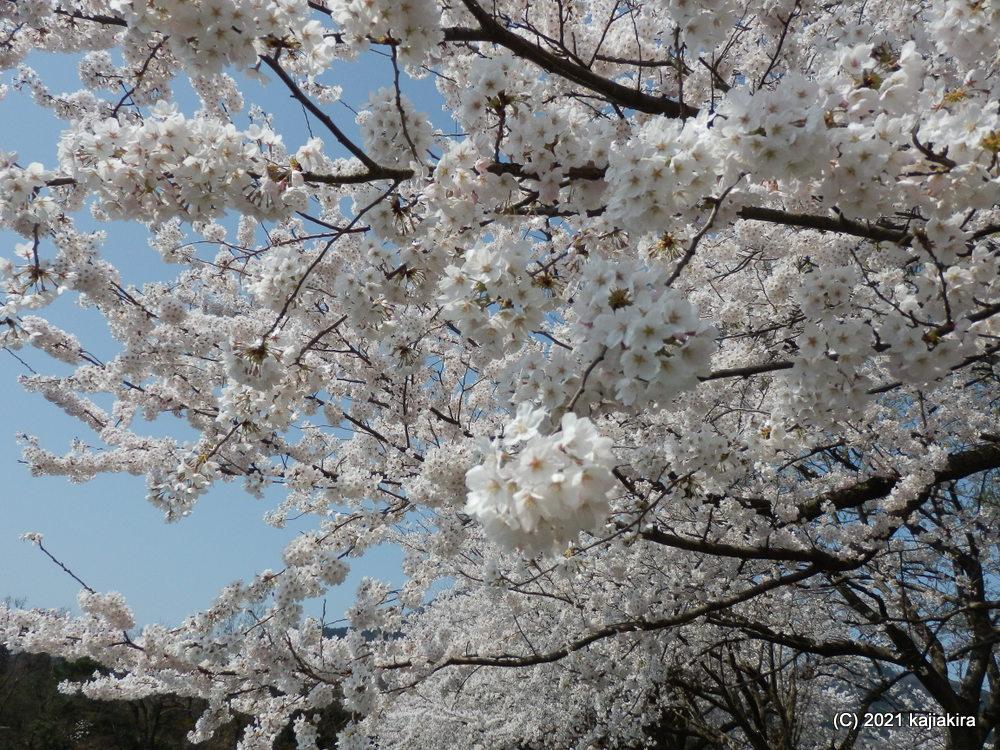 仁箇堤(新潟市西蒲区)の桜 2021(4/3)