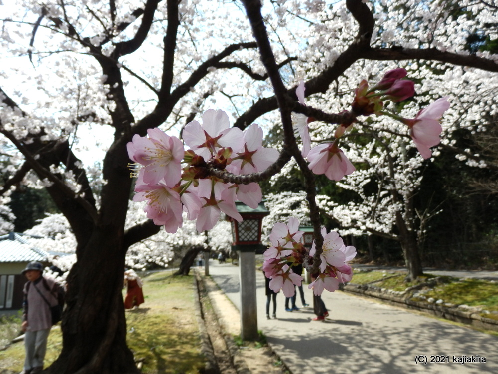 弥彦公園(西蒲原郡弥彦村)の桜と弥彦山頂の様子 2021(4/3)