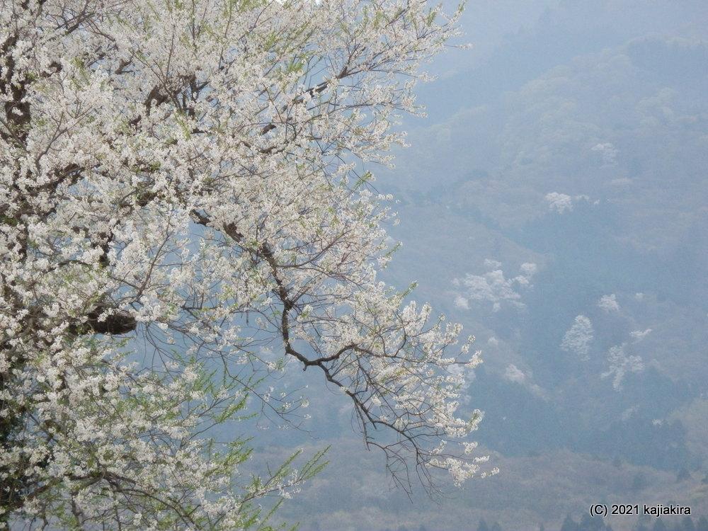 早出川堤防の一本桜(五泉市) 2021(4/4)