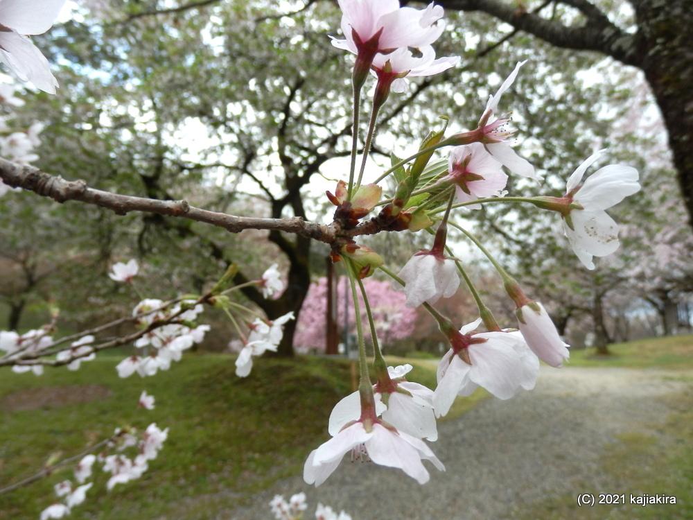 大峰山桜公園(新発田市) 2021(4/7)