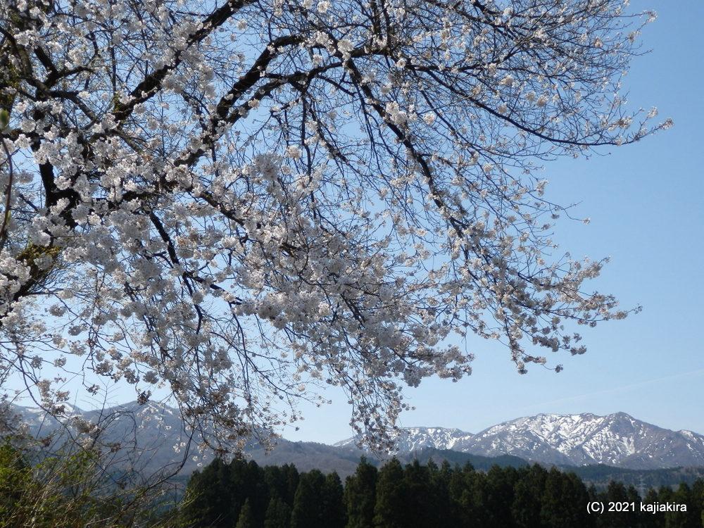 黒岩の夫婦桜(東蒲原郡阿賀町黒岩) 2021(4/12)