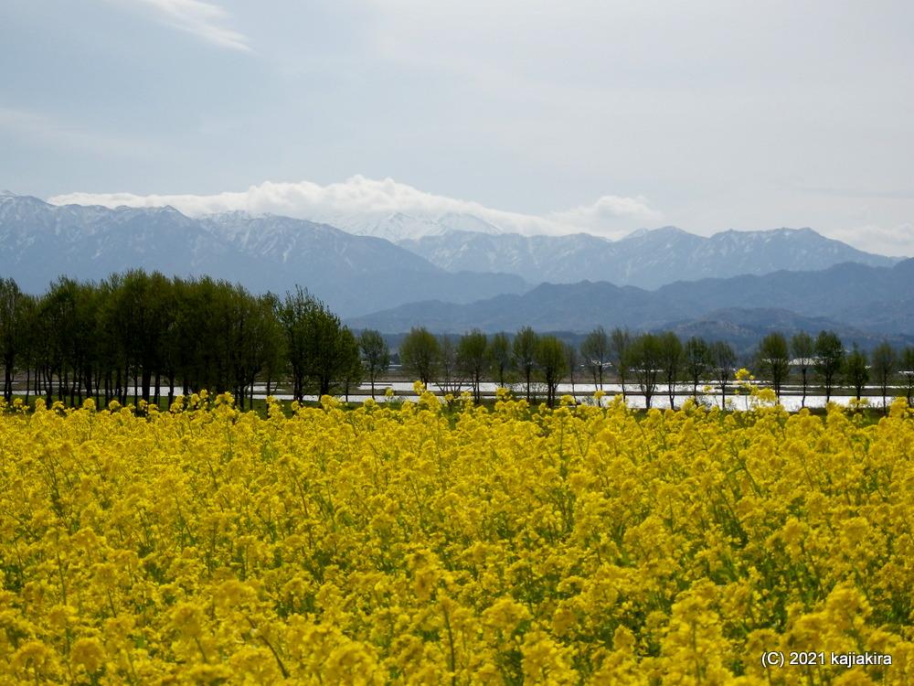 福島潟(新潟市北区)の菜の花 2021