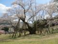 根尾の薄墨桜(北側 4月13日)