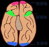 人間の脳を下から見た図