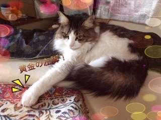 「黄金の左腕」と言って、ドヤ顔で左脚を前に伸ばして出す猫