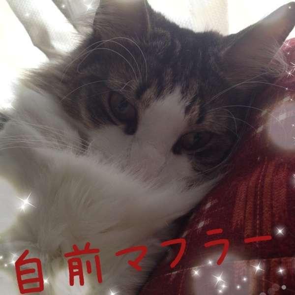 自分の胸毛に顔を埋めて「自前マフラー」という猫
