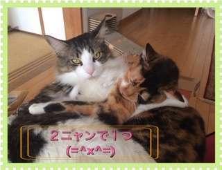 三毛と抱き合い、此方をみて「2にゃん一緒」とこれ見よがしなキジシロ猫