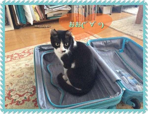 スーツケースに入って、「おお!」と感動する猫