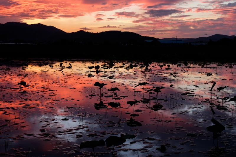 京都新聞写真コンテスト 蓮池の夕焼け