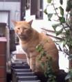 門前ネコ、今日は門柱の上