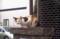 隣家の玄関ネコも門柱の上w