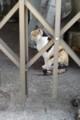 ご近所ネコ、三毛さん