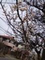梅桃桜と似てるのね