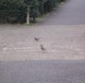 歩道のムクドリ