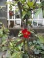 玄関先の木瓜