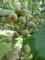 野川公園梅林のウメ