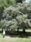 野川公園。アセビにしてはでかい