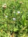 野川公園。カタバミ